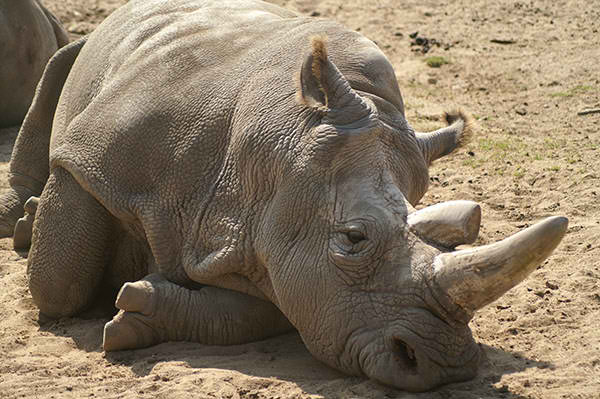 IVF and stem cell to help save the northern white rhino from extinction