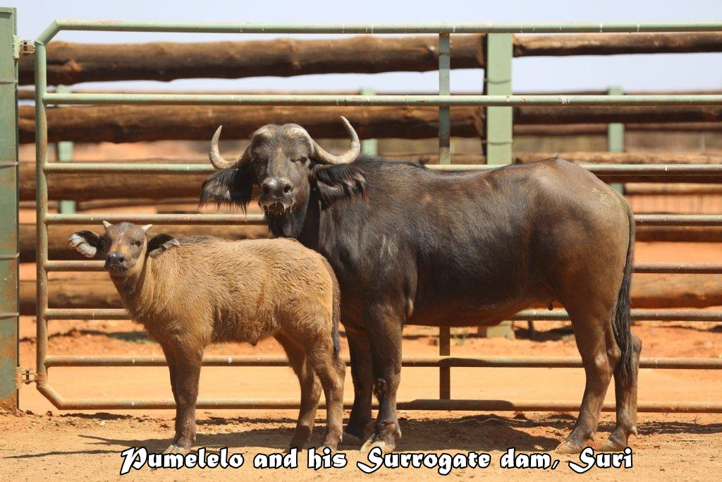 World's first Cape Buffalo calf conceived through IVF